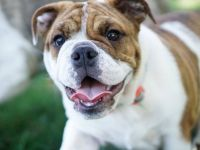 miniature english bulldog dog