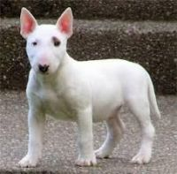Miniature Fox Terrier Puppies for sale in Beaver Creek, CO 81620, USA. price: NA