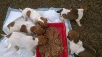 Miniature Fox Terrier Puppies for sale in Berkeley, CA, USA. price: NA