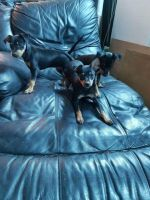 Miniature Fox Terrier Puppies for sale in Jacksonville, FL, USA. price: NA
