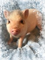 Miniature Pig Animals for sale in Dallas, TX, USA. price: NA