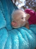 Miniature Pig Animals for sale in Spring Hill, FL 34610, USA. price: NA