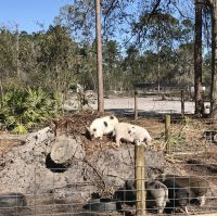 Miniature Pig Animals for sale in Fort McCoy, FL 32134, USA. price: NA