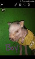 Miniature Pig Animals for sale in Hopkins, MI 49328, USA. price: NA
