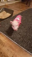Miniature Pig Animals for sale in St. Louis, MO, USA. price: NA