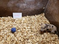 Miniature Pig Animals for sale in Knoxville, TN, USA. price: NA
