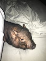 Miniature Pig Animals for sale in Rochester, NY, USA. price: NA