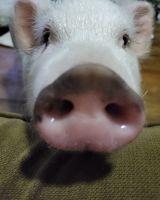 Miniature Pig Animals for sale in Santa Ana, CA, USA. price: NA