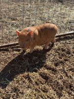 Miniature Pig Animals for sale in Parachute, CO 81635, USA. price: NA