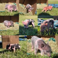 Miniature Pig Animals for sale in Lithia, FL, USA. price: NA