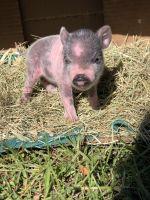 Miniature Pig Animals Photos