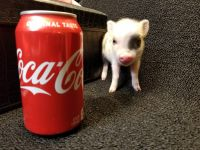 Miniature Pig Animals for sale in Boise, ID, USA. price: NA