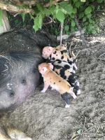 Miniature Pig Animals for sale in Nampa, ID 83686, USA. price: NA