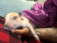 Miniature Pig Animals for sale in Hackensack, NJ, USA. price: NA