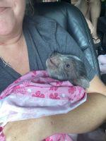 Miniature Pig Animals for sale in Covington, GA, USA. price: NA