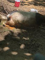 Miniature Pig Animals for sale in Quinton, AL, USA. price: NA