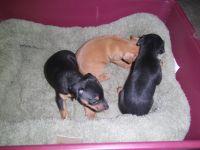 Miniature Pinscher Puppies for sale in Palatka, FL 32177, USA. price: NA