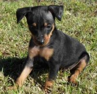 Miniature Pinscher Puppies for sale in Boynton, OK 74422, USA. price: NA