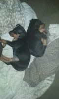 Miniature Pinscher Puppies for sale in Brooklet, GA 30415, USA. price: NA