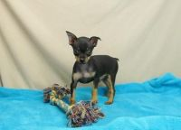 Miniature Pinscher Puppies for sale in Philadelphia, PA, USA. price: NA