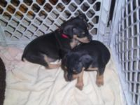 Miniature Pinscher Puppies for sale in Concord, CA, USA. price: NA