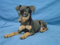 Miniature Pinscher Puppies for sale in Charlotte, NC, USA. price: NA