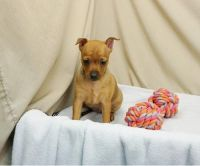 Miniature Pinscher Puppies for sale in Bakersfield, CA, USA. price: NA