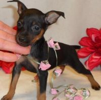 Miniature Pinscher Puppies for sale in Los Angeles, CA, USA. price: NA