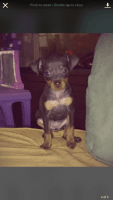 Miniature Pinscher Puppies for sale in Portsmouth, OH 45662, USA. price: NA