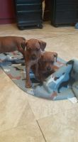 Miniature Pinscher Puppies for sale in Hudson Falls, NY 12839, USA. price: NA