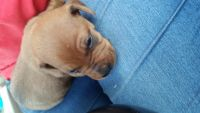 Miniature Pinscher Puppies for sale in Memphis, TN, USA. price: NA