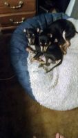 Miniature Pinscher Puppies for sale in Pasadena, TX, USA. price: NA