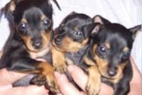 Miniature Pinscher Puppies for sale in Colorado Springs, CO, USA. price: NA