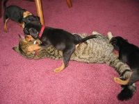 Miniature Pinscher Puppies for sale in Montgomery, AL, USA. price: NA