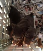 Miniature Pinscher Puppies for sale in Sussex, NJ 07461, USA. price: NA