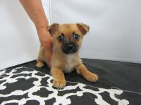 Miniature Pinscher Puppies for sale in Fullerton, CA, USA. price: NA