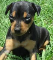 Miniature Pinscher Puppies for sale in Little Rock, AR, USA. price: NA