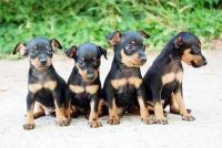 Miniature Pinscher Puppies for sale in Missoula, MT, USA. price: NA
