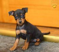 Miniature Pinscher Puppies for sale in Sacramento, CA, USA. price: NA