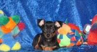 Miniature Pinscher Puppies for sale in Baywood-Los Osos, CA 93402, USA. price: NA
