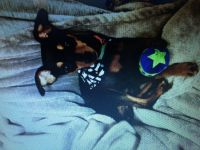 Miniature Pinscher Puppies for sale in Raleigh, NC, USA. price: NA