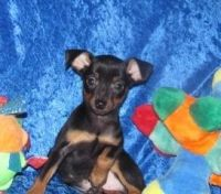 Miniature Pinscher Puppies for sale in Anchorville, MI 48023, USA. price: NA