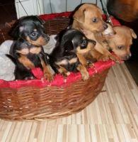 Miniature Pinscher Puppies for sale in Virginia Beach, VA, USA. price: NA