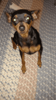 Miniature Pinscher Puppies for sale in Hillsboro, OH 45133, USA. price: NA