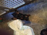 Miniature Pinscher Puppies for sale in St Croix Falls, WI 54024, USA. price: NA