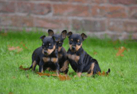 Miniature Pinscher Puppies for sale in Austin, TX, USA. price: NA