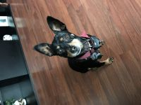 Miniature Pinscher Puppies for sale in Mansfield, OH, USA. price: NA