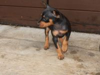 Miniature Pinscher Puppies for sale in Edmond Crossing Boulevard, Edmond, OK 73013, USA. price: NA