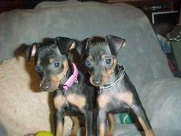 Miniature Pinscher Puppies for sale in Carrollton, GA, USA. price: NA
