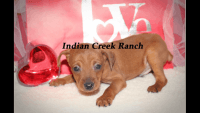 Miniature Pinscher Puppies for sale in Hannibal, MO 63401, USA. price: NA